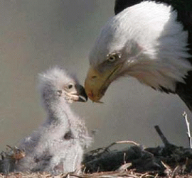 Adult and baby eagle