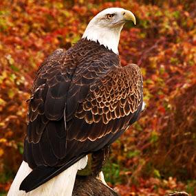 eagle-in-autumn
